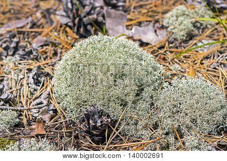 Cladonia forest (lat. Cladonia arbuscula). Lichen in a forest glade
