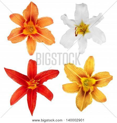 lily. lily flowers isolated. lily flowers. lily flowers isolated on white background. lily collection. collection of flower isolated lilies