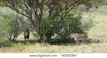 African Bushveld With Lions, Namibia