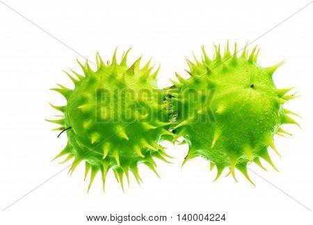 green chestnut ball macro on white background