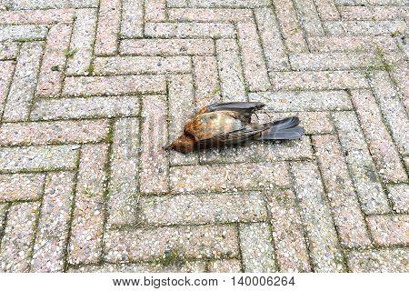 Dead Female Blackbird On The Pavement Lying Upside Down