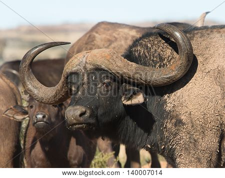 Buffalo bull with massive horns and mud on his body