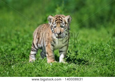 adorable siberian tiger cub standing outdoors in summer
