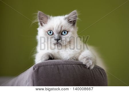 adorable fluffy kitten with blue eyes indoors