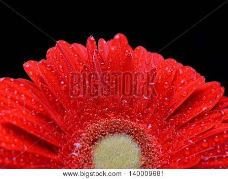 Dew drops on a flower red gerbera isolated on black background.
