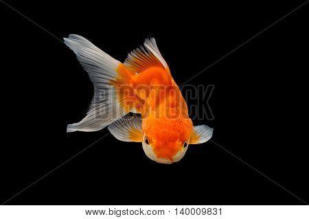 Oranda gold fish isolated on black background