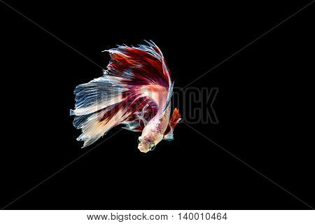 Siamese Fighting Fish Isolated On Black Background.