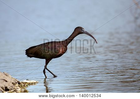Glossy Ibis or Plegadis Falcinellus in a water-logged area in Bahrain