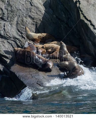A pod of sea lion cows are catching a bit of sleep on a small rock ledge.