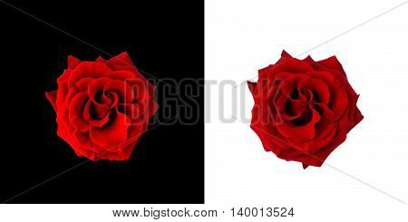 Red roses on black and white background