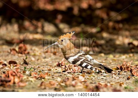Hoopoe or Upupa epops in a garden at Budaiya, Bahrain