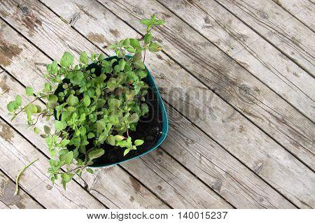 Growing Oregano