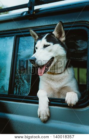 Sad Dog Husky Looks Out Of The Window While Sitting In The Car