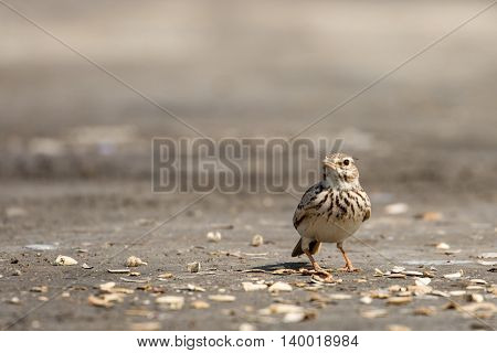 Crested Lark or Galerida Cristata in a farm in Bahrain
