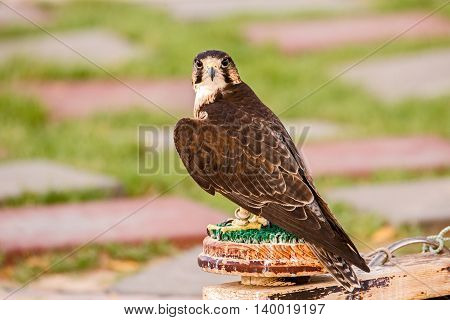 A Brown Falcon or Falco Berigora in a park in Bahrain