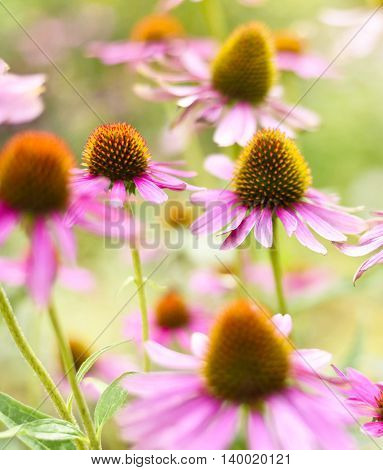 Red coneflowers or purple coneflowers in the sunlight. Sun and wild spring flowers with copy space. Summer wildflowers with smooth light and sunbeam. Golden light and pink flowers.