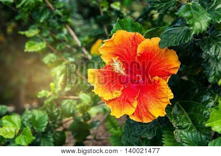 Closeup of orange flower blooming in the garden California