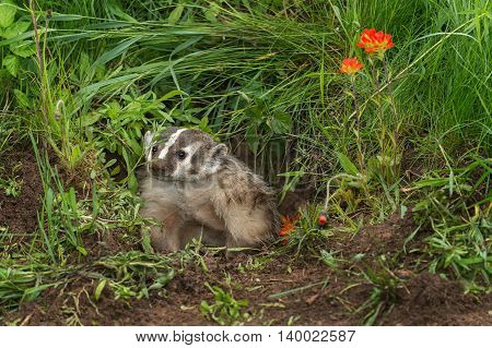 North American Badger (Taxidea taxus) Sits in Den Entrance - captive animal