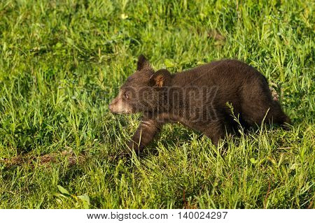 Black Bear Cub (Ursus americanus) Walks Left - captive animal