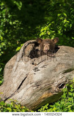 Black Bear Cub (Ursus americanus) Peeks Out of Log - captive animal