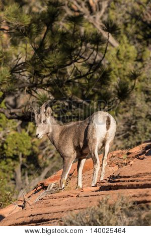 a cute young desert bighorn sheep in zion national park utah