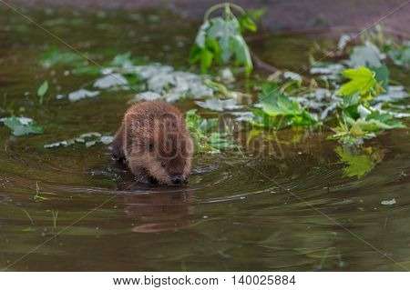 North American Beaver (Castor canadensis) Kit Looks Into Water - captive animal