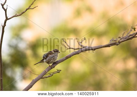A House Sparrow or Passer Domesticus in a garden in Bahrain