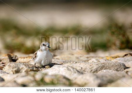 A female Kentish Plover incubates her Eggs in a rocky terrain in Bahrain
