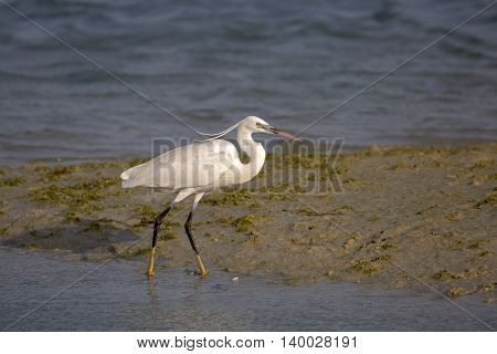 Western reef heron at Dohat Arad Lagoon, Bahrain