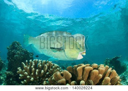 Bumphead Parrotfish fish on coral reef