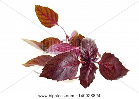Branch of violet basil isolated on white background