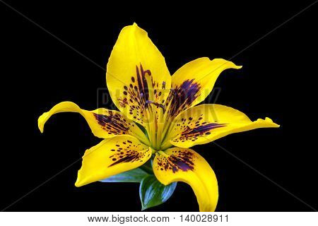 one flower a lily of yellow color on the black isolated background
