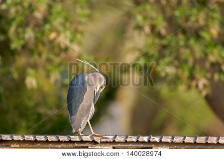 An adult Black-crowned Night Heron sitting on a roller coaster rail in a park in Bahrain