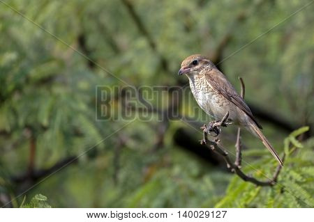 Isabelline Shrike perched on a tree branch in a farm in Bahrain