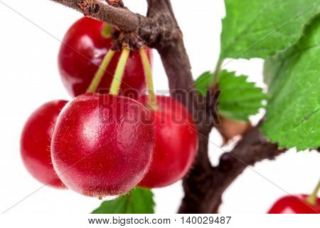 felted cherry branch isolated on white background.