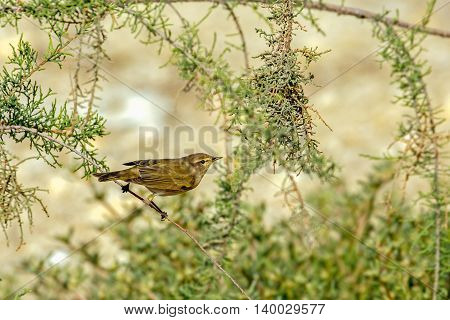 Iberian Chiffchaff or Phylloscopus ibericus perched on a bush in a farm in Bahrain