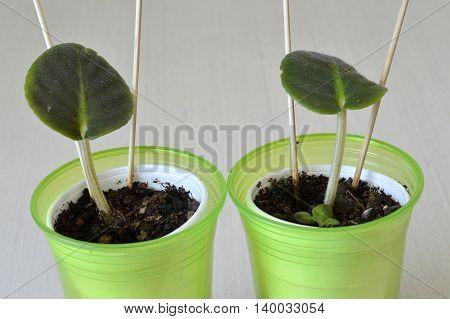 African Violet Seedling