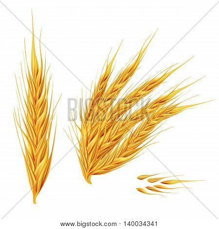 Ears of wheat. Isolated illustration on white background.