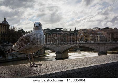Seagull Stone Bridge Ledge Rome Italy Tiber RIver Vatican Travel