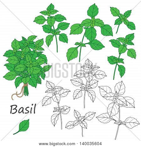 Set of outlined and green twigs of basil isolated on white. Bundle of flavoring herbs tied with string.