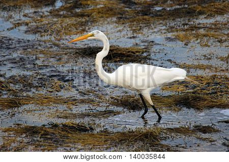 A Great Egret (Ardea alba) hunting for fish near the shore.