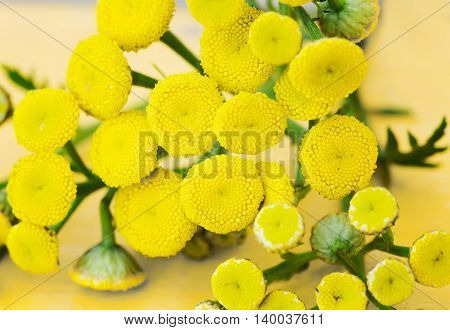 sprig of tansy close up on a yellow wooden surface.