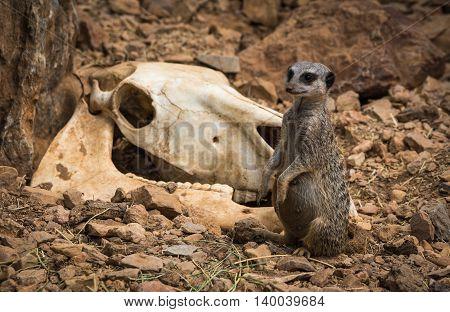 Little Pregnant Meerkat  Near Gnawed Cow Skull