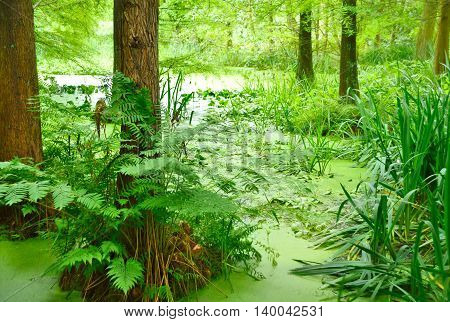 Cypress swamp. Pond or swamp with cypress tree.