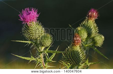 Spear thistle flower (Cirsium vulgare) in Finland.