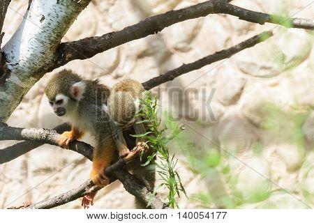 Cute Squirrel monkey (Saimiri) in zoo, animal park