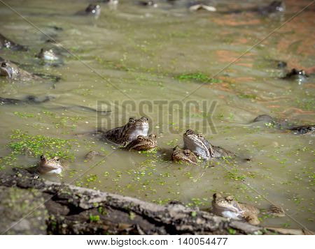 Group of common brown frogs mating in the pond