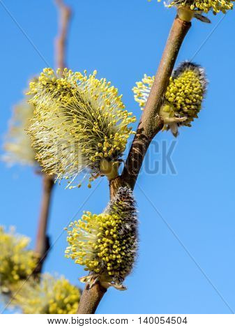 Closeup of willow branch with catkins over blue sky