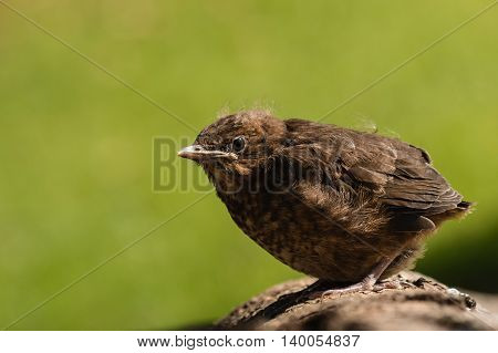 close up of young blackbird resting on tree branch