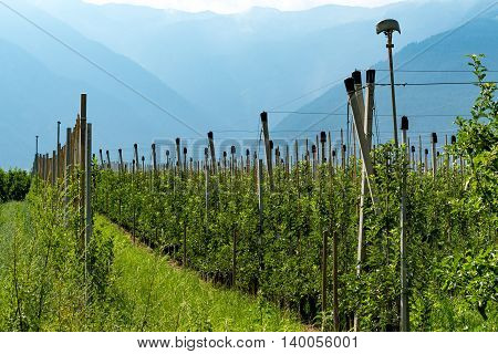 Large view on the apples plantation in Alps Austria